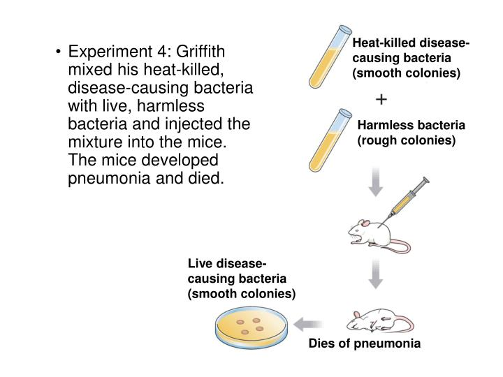 Heat-killed disease-causing bacteria (smooth colonies)