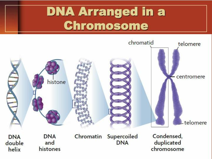 DNA Arranged in a Chromosome