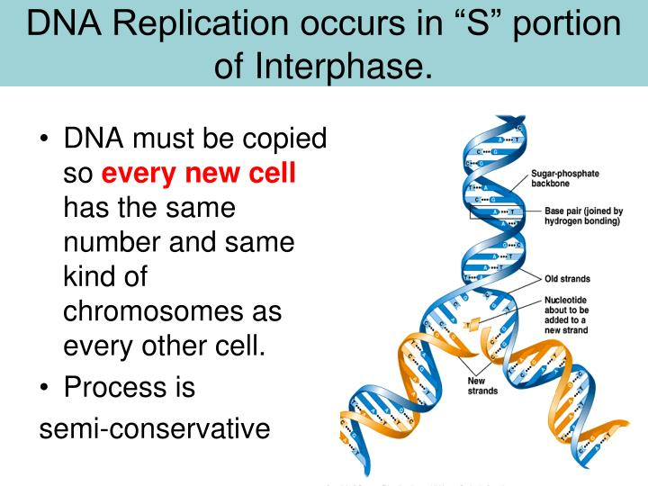 "DNA Replication occurs in ""S"" portion of"