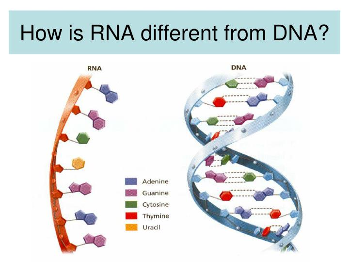 How is RNA different from DNA?