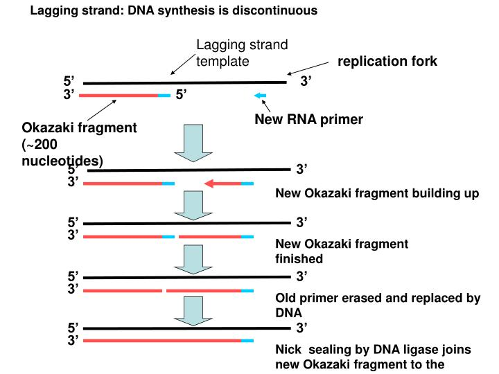Lagging strand: DNA synthesis is discontinuous