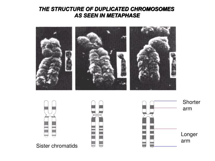 THE STRUCTURE OF DUPLICATED CHROMOSOMES