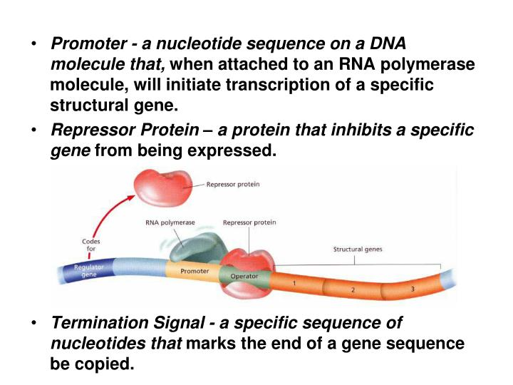 Promoter - a nucleotide sequence on a DNA molecule that,