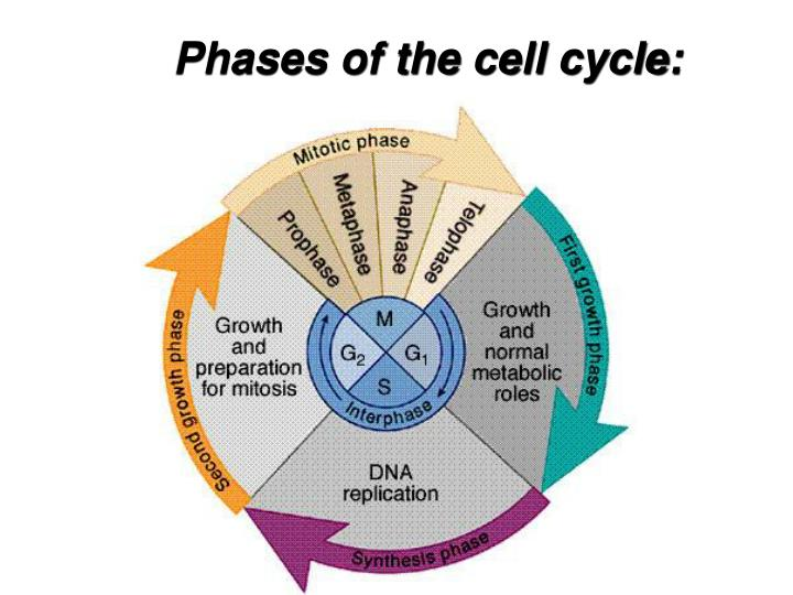 Phases of the cell cycle: