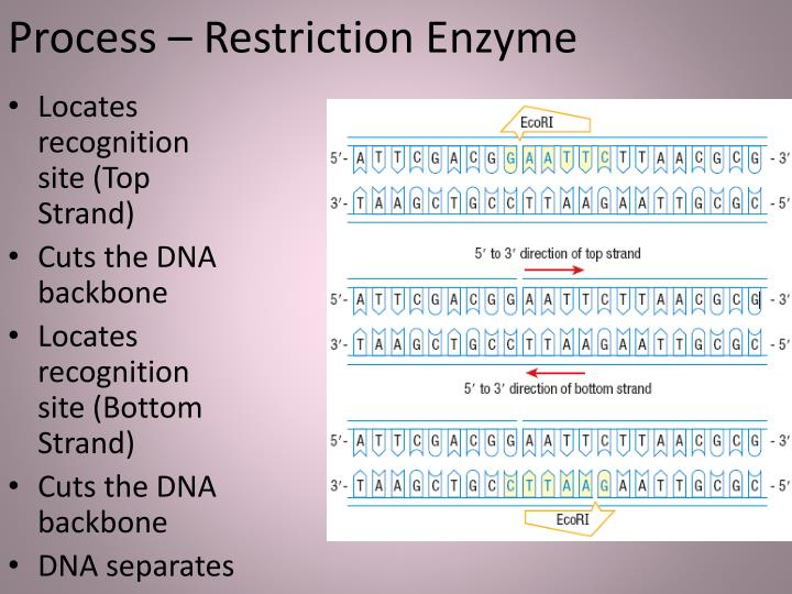 Process – Restriction Enzyme