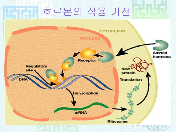 호르몬의 작용 기전