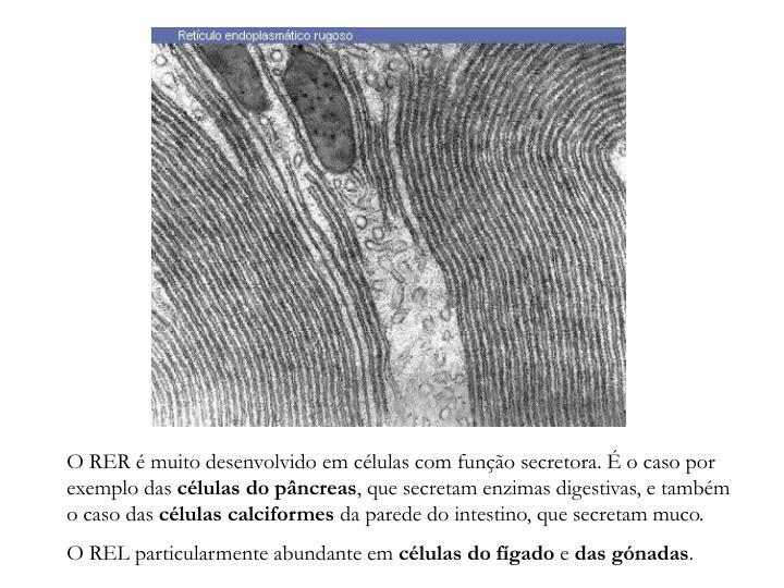 O RER é muito desenvolvido em células com função secretora. É o caso por exemplo das