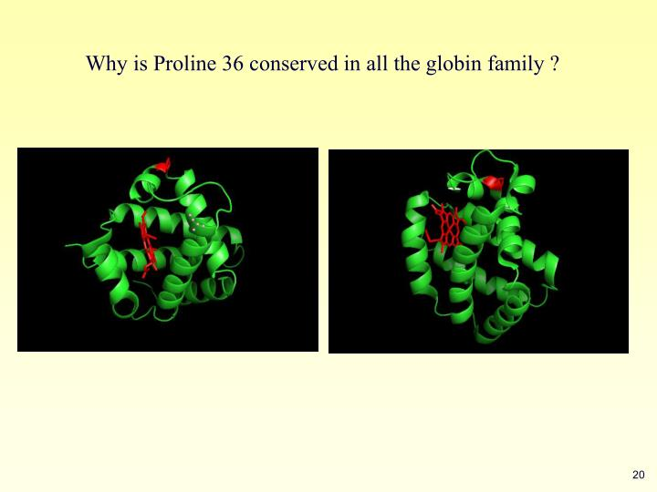 Why is Proline 36 conserved in all the globin family ?