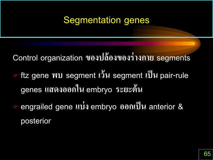 Segmentation genes