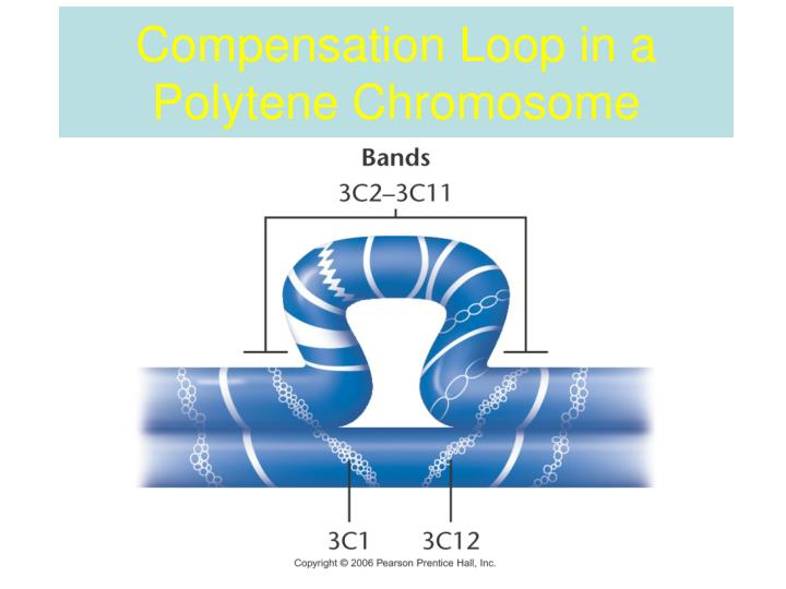 Compensation Loop in a Polytene Chromosome