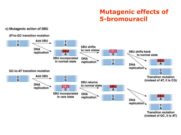 Mutagenic effects of 5-bromouracil
