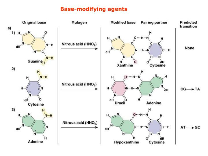 Base-modifying agents