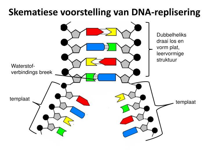 Skematiese voorstelling van DNA-replisering