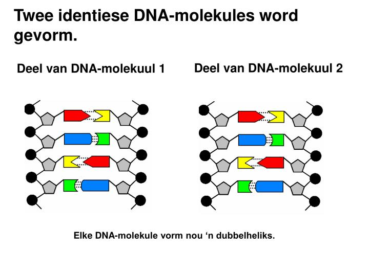 Twee identiese DNA-molekules word gevorm.