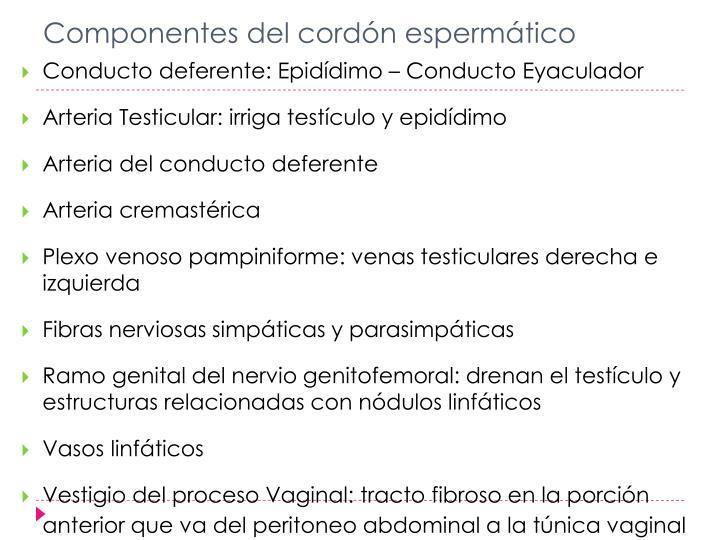 Componentes del cordón espermático