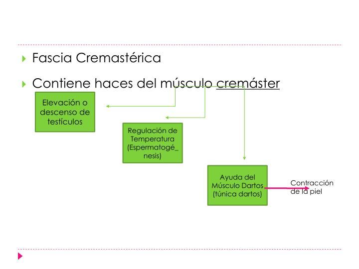 Fascia Cremastérica