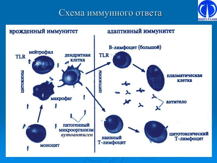 Схема иммунного ответа