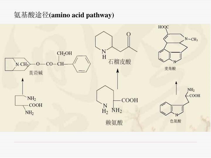 氨基酸途径