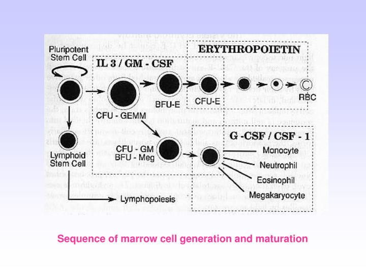 Sequence of marrow cell generation and maturation