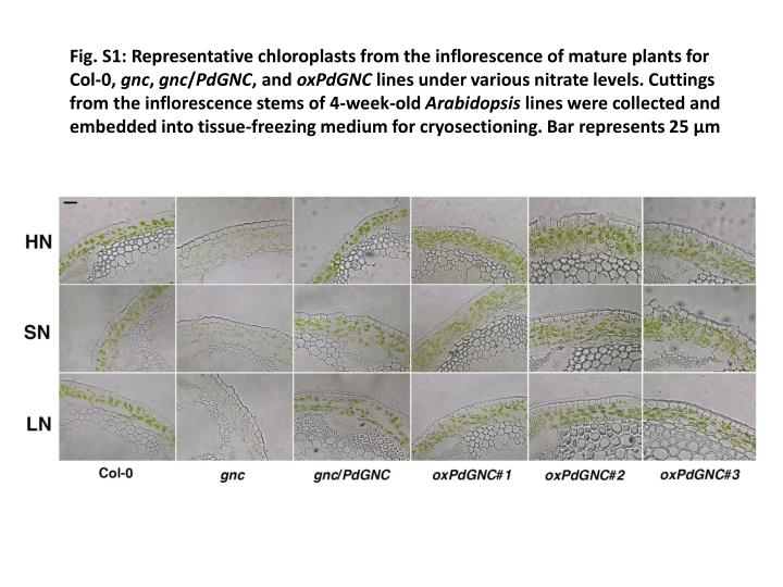 Fig. S1: Representative chloroplasts from the inflorescence of mature plants for Col-0,