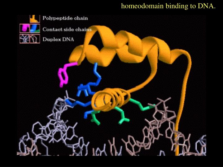 homeodomain binding to DNA.