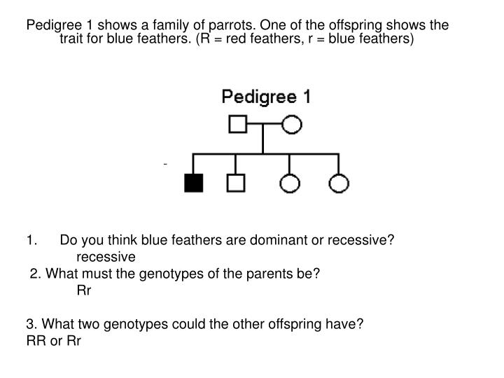 Pedigree 1 shows a family of parrots. One of the offspring shows the trait for blue feathers. (R = red feathers, r = blue feathers)