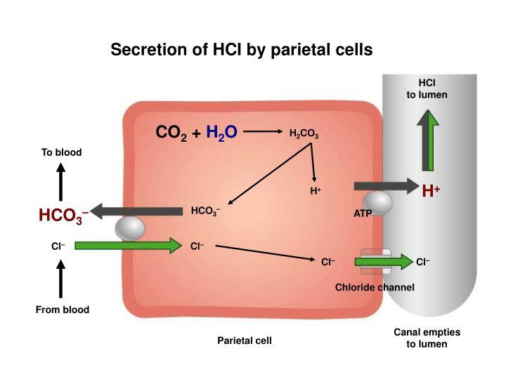 Secretion of HCI by parietal cells