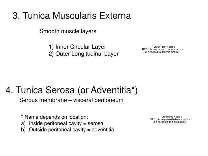 3. Tunica Muscularis Externa