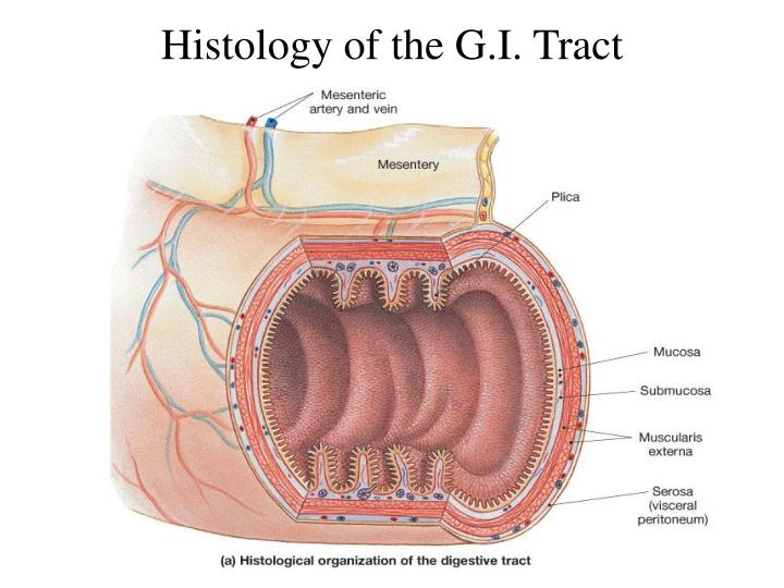 Histology of the G.I. Tract