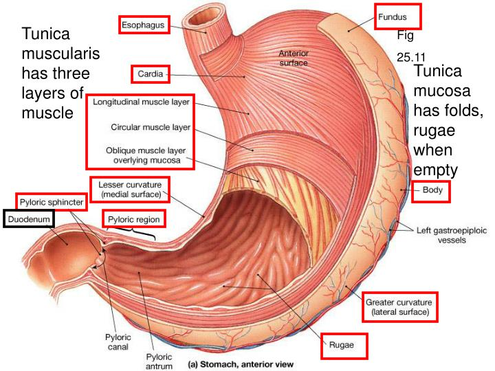 Tunica muscularis has three layers of muscle