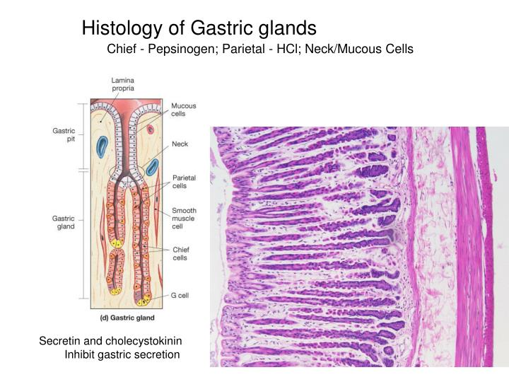 Histology of Gastric glands