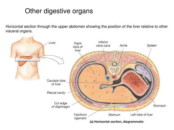 Other digestive organs
