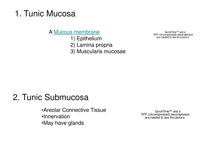 1. Tunic Mucosa