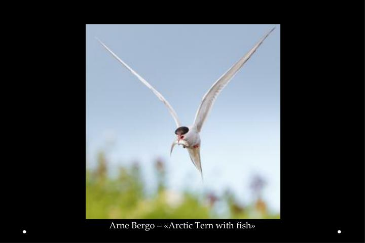Arne Bergo – «Arctic Tern with fish»