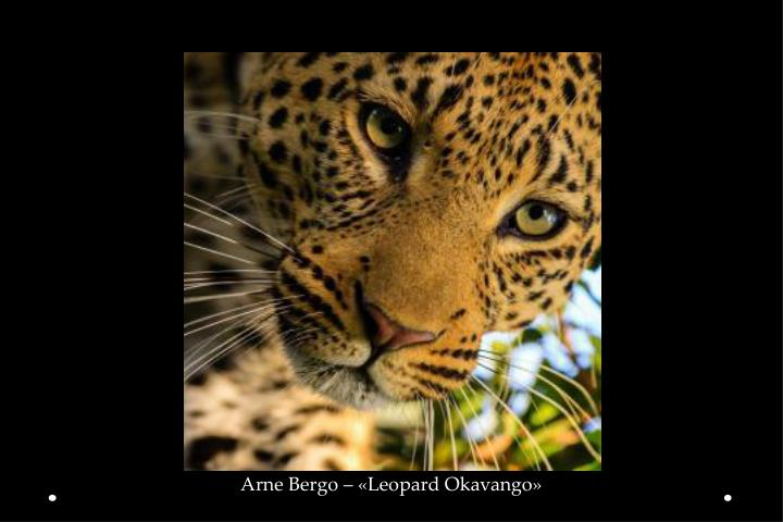 Arne Bergo – «Leopard Okavango»