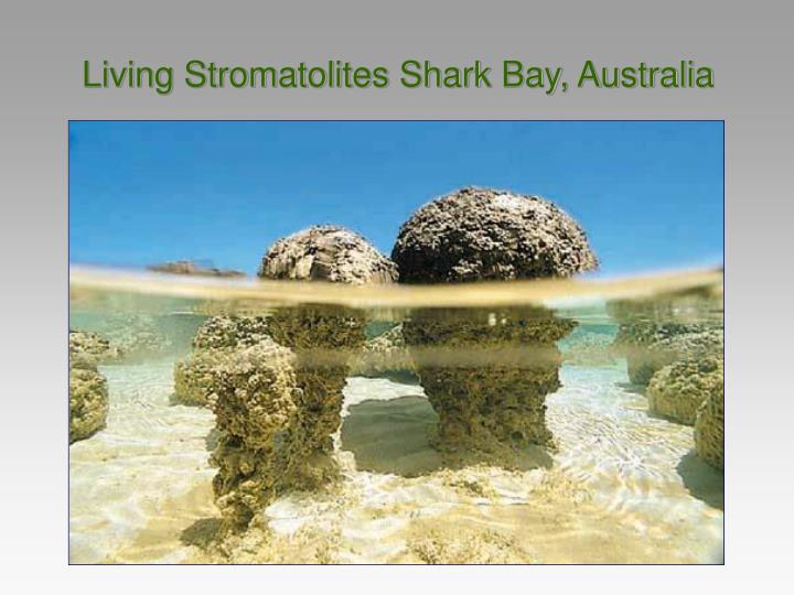 Living Stromatolites Shark Bay, Australia