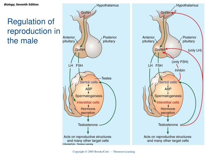 Regulation of reproduction in the male