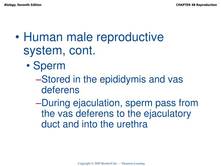 Human male reproductive system, cont.