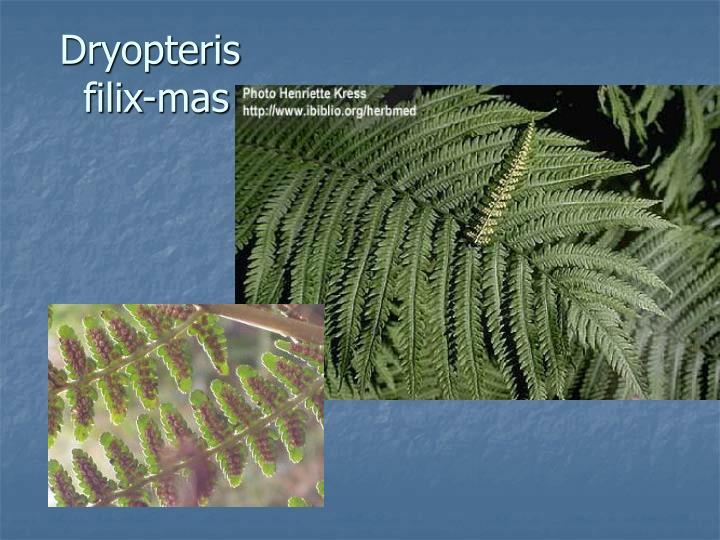 Dryopteris