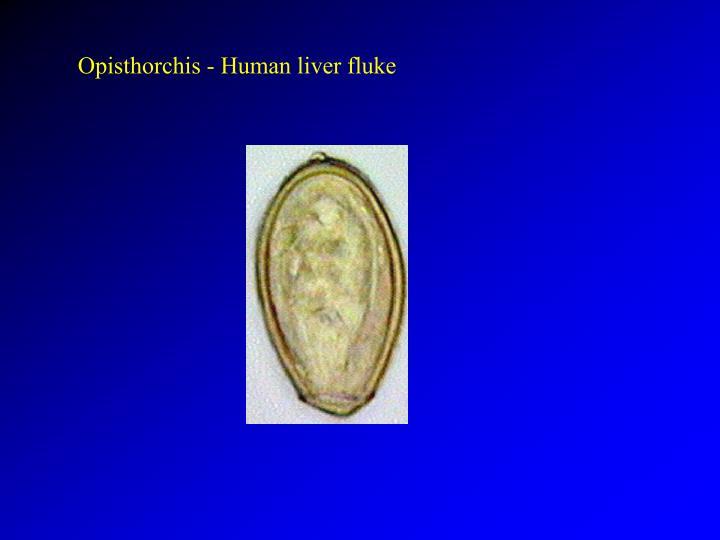 Opisthorchis - Human liver fluke