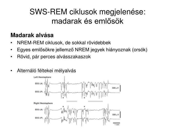 SWS-REM ciklusok megjelenése: