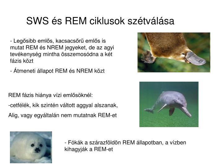 SWS és REM ciklusok szétválása