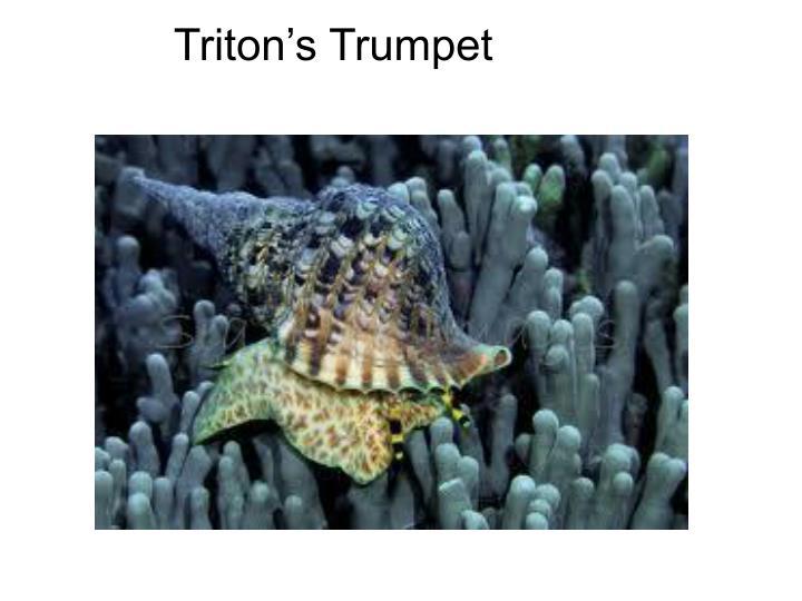 Triton's Trumpet