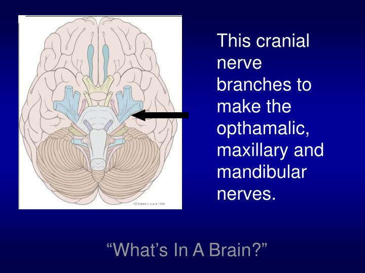 This cranial nerve branches to make the opthamalic, maxillary and mandibular nerves.