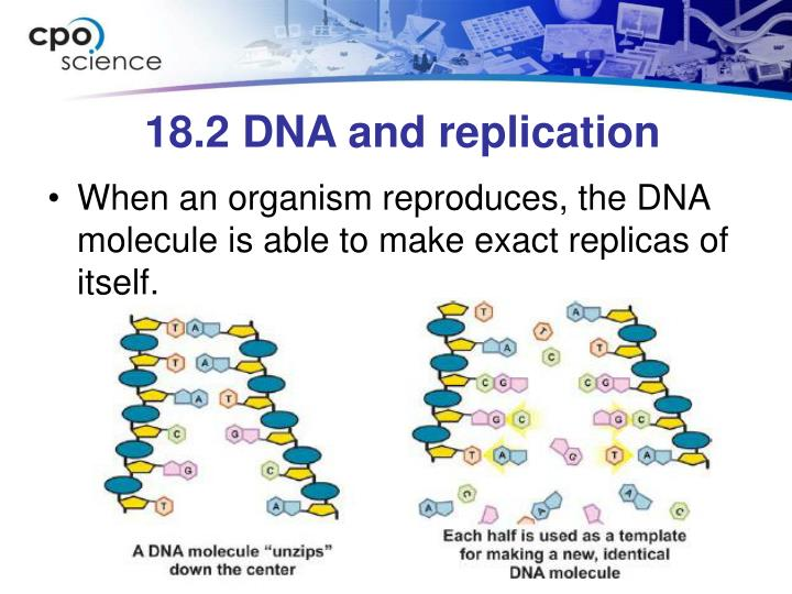18.2 DNA and replication