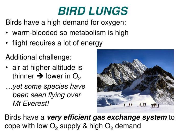 BIRD LUNGS
