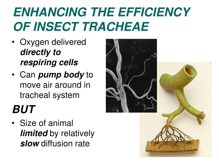 ENHANCING THE EFFICIENCY OF INSECT TRACHEAE
