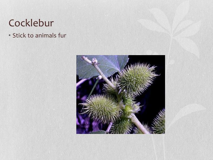 Cocklebur