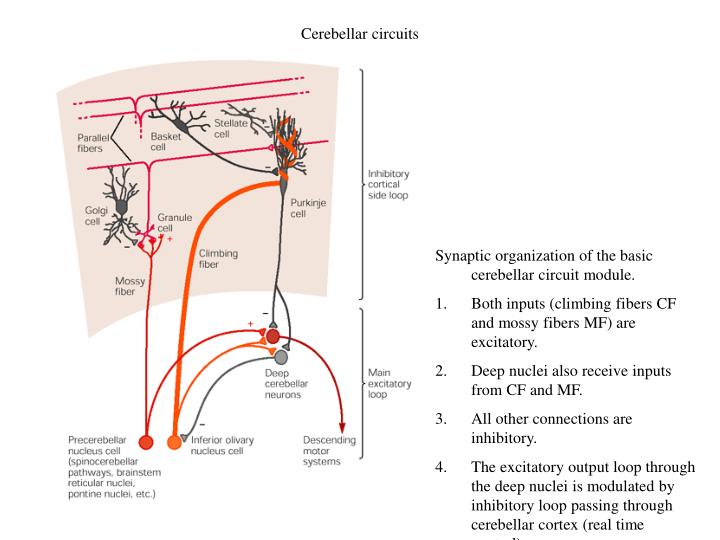 Cerebellar circuits