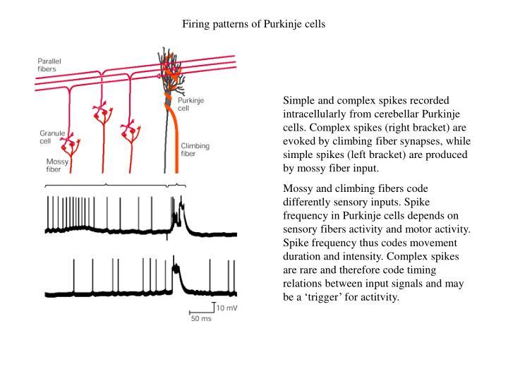 Firing patterns of Purkinje cells